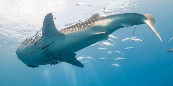 remora-e-squalo.jpg-1